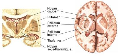 Figure 1. Principaux noyaux gris centraux chez l'homme. Vues latérale, frontale et axiale.